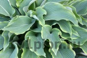 Hosta Dark Star / Хоста Дарк Стар
