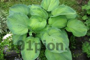 Hosta  George Smith / Хоста Жорж Смит