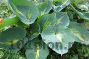 Hosta Lakeside Beach Captain / Хоста Лейксайд Бич Кэптен