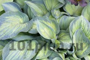 Hosta Paul's Glory / Хоста Паул'с Глори