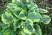 Hosta Wide Brim / Хоста Уайд Брим