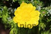Адонис весенний / Горицвет
