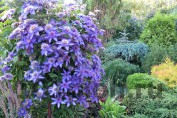 "Clematis ""Multi Blue"" / Клематис ""Мульти Блю"""