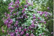 "Clematis ""Purpurea Plena Elegans"" / Клематис ""Пурпурия Плена Елеганс"""