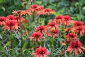 "Эхинацея ""Пурпурная Иррезистэбл"" / Echinacea ""Purpurea Irresistible"""