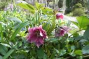 Морозник гибридный №1 / Helleborus Hybridus №1