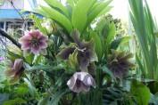 Морозник гибридный №2 / Helleborus Hybridus №2