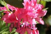 Рододендрон Rosy Light / Рози Лайт