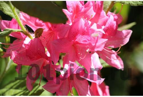 Рододендрон Rosy Light