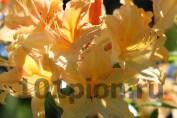 Рододендрон Golden Light / Голден Лайт