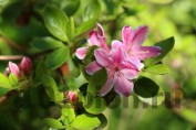 Рододендрон Kermesina Rose / Кермесина Роуз