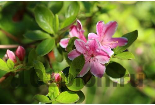 Рододендрон Kermesina Rose