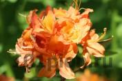 Рододендрон Mandarin Light / Мандарин Лайт