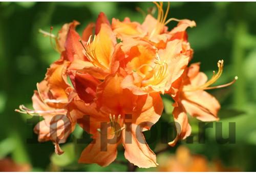 Рододендрон Mandarin Light