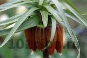 Рябчик императорский / Fritillaria imperialis