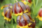 Рябчик Михайловского / Fritillaria michailowskyi