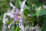 Трициртис столононосный Пёрпл Бьюти / Tricirtis Purple Beauty