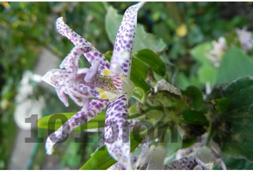 Tricirtis formosana Purple Beauty