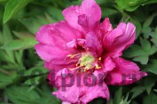 Peony Morning Lilac / Пион Морнинг Лилак