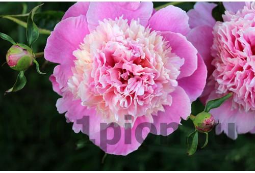 Пион Розовый Исполин