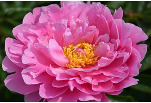 Пион Silver Rose