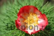 Paeonia Tenuifolia Alba Rubra / Пион тонколистный Пятигорск