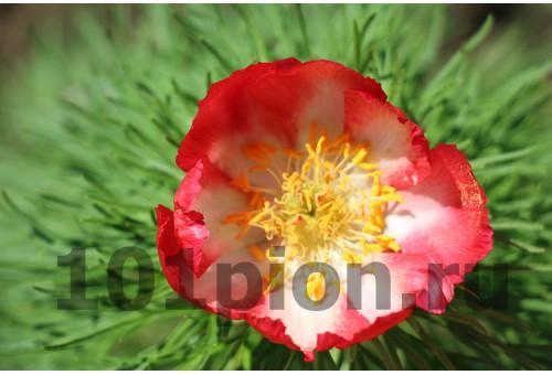 Пион Tenuifolia Alba Rubra