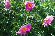 Paeonia Anomala / Пион Марьин корень (уклоняющийся)