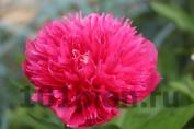 Paeonia Officinalis Rosea Plena / Пион лекарственный Розеа Плена