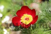 Paeonia tenuifolia / Пион тонколистный
