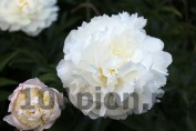 Peony Camellia White / Пион Камелия Уайт