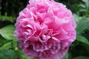 Peony Carnation Bouquet / Пион Карнэйшн Букет