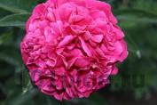 Peony Garden Glory / Пион Гарден Глори