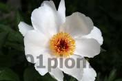 Peony Garden Peace / Пион Гарден Пис