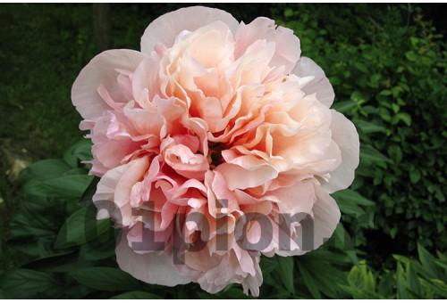 Пион Glowing Raspberry Rose