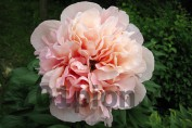Peony Glowing Raspberry Rose / Пион Глоуинг Распберри Роуз