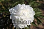 Peony Madame CLaude Tain / Пион Мадам Клод Тэн