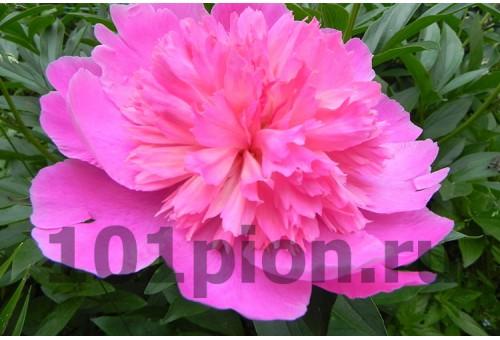 Пион Pink Cameo