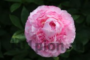 Peony Pink Cotton Candy / Пион Пинк коттон Кэнди