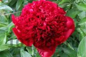 Peony Red Charm / Пион Ред Чарм