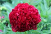 Peony Red Grace / Пион Ред Грейс