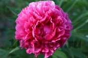 Peony Rose Heart / Пион Роуз Харт