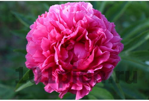 Пион Rose Heart