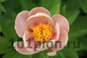 Peony Soft Apricot Kisses / Пион Софт Априкот Кисес
