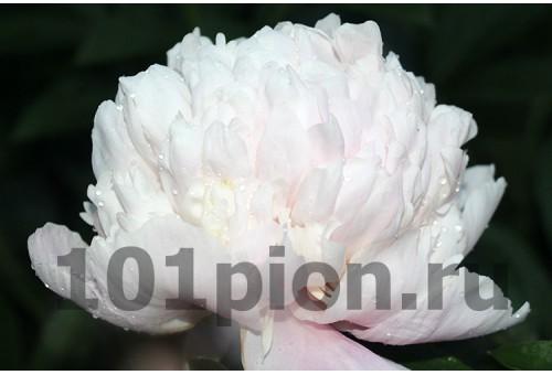 Пион Sweet-16