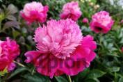 Peony Ursa Minor / Пион Урса Минор
