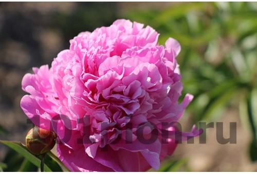 Пион Vivid Rose