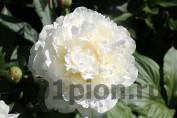 Peony White Frost / Пион Вайт Фрост
